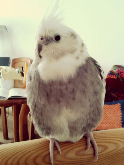 Oiseaux Pajarito Birds Animaux Love Lovepets  Plumes ma cookie