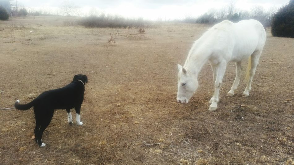 Missouri Ozarks United States Animals White Horse Black Dog Yellow Field Rural Friends ❤ Mammal Animal Themes Domestic Animals Animal Dog Outdoors Pets No People Day Nature Standing Animals In The Wild