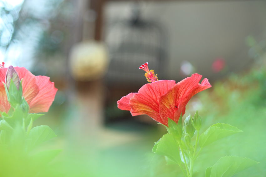 Botany 花 In My Garden Flowers 花と庭 Bokeh EyeEm Nature Lover Nature Flower EyeEm Best Shots 玉ボケ部 玉ボケ Bokeh Love Redハイビスカスが咲きました🙌🎶