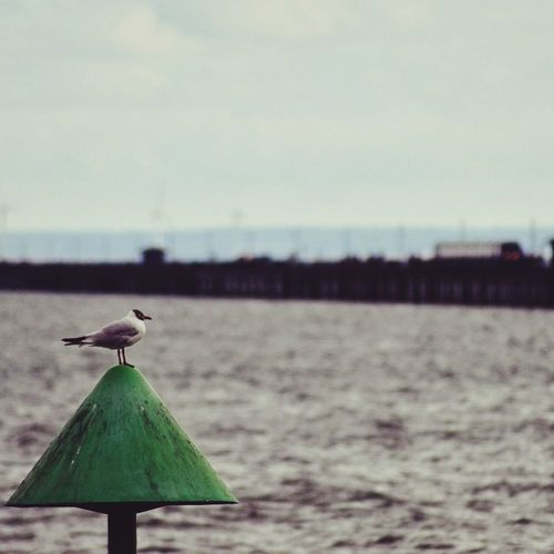 Bird One Animal Animal Wildlife Perching Outdoors Sea Day Beach Sky Beauty In Nature Pier Pier Train Southend On Sea