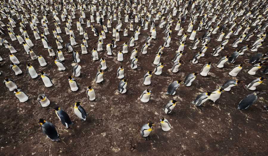 High angle view of penguins on land