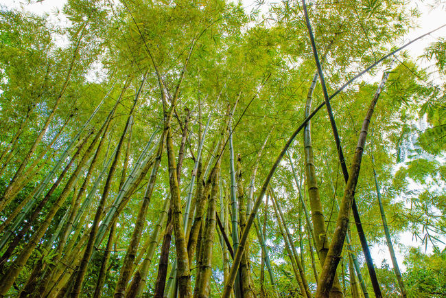 Bamboo Bamboo - Plant Bamboo Forest Bamboo Forest From Moisture Bamboo Grove Bamboo Trees Green Bamboo Tropical Fruits