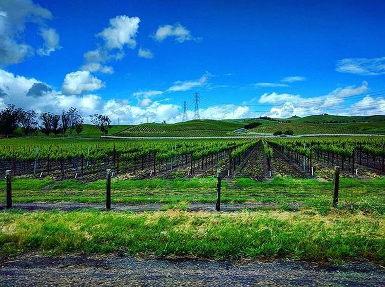 This was a quick Phonephoto from the other day on my way to Sonomacounty it's all rolling, bright green hills, trees, and new Vineyards  this time of year. So lovely and this picture doesn't even begin to capture its beauty. Nexus5x Photography Spring