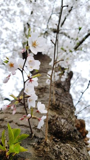 Closeup of cherry blossoms Tree Trunk Flower Head Flower Tree Branch Springtime Blossom Close-up Sky Cherry Blossom Twig Botany Plant Life Bud Bark In Bloom Blooming