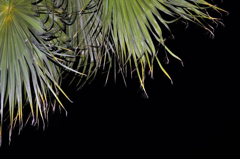 Beauty In Nature Black Background Close Up Of Palm Tree Close-up EyeEmNewHere Freshness Green Color Growth Nature Night No People Outdoors Palmtree