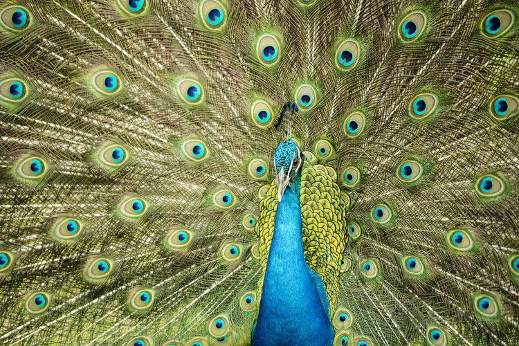 Full frame shot of peacock with fanned feathers