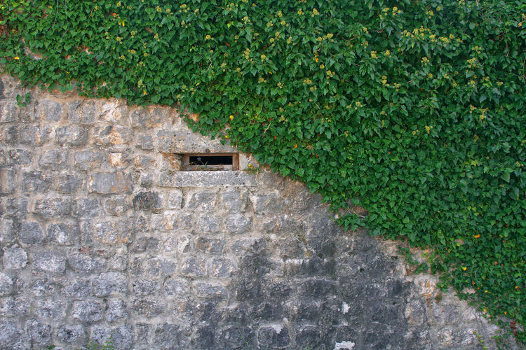Ivy growing on wall of house