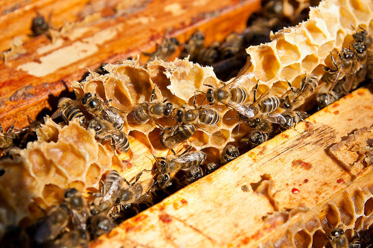 Animal Animal Themes Animal Wildlife Animals In The Wild APIculture Beauty In Nature Bee Beehive Close-up Food Food And Drink Group Of Animals Honey Honey Bee Honeycomb Insect Invertebrate Nature No People Wood - Material