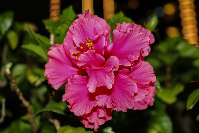 Bunga Kebangsaan Beauty In Nature Bunga Raya Close-up Demi Negaraku Flower Freshness Growth Hibiscus Kebangsaan Leaf Malaysia Nature Negaraku No People Petal Plant