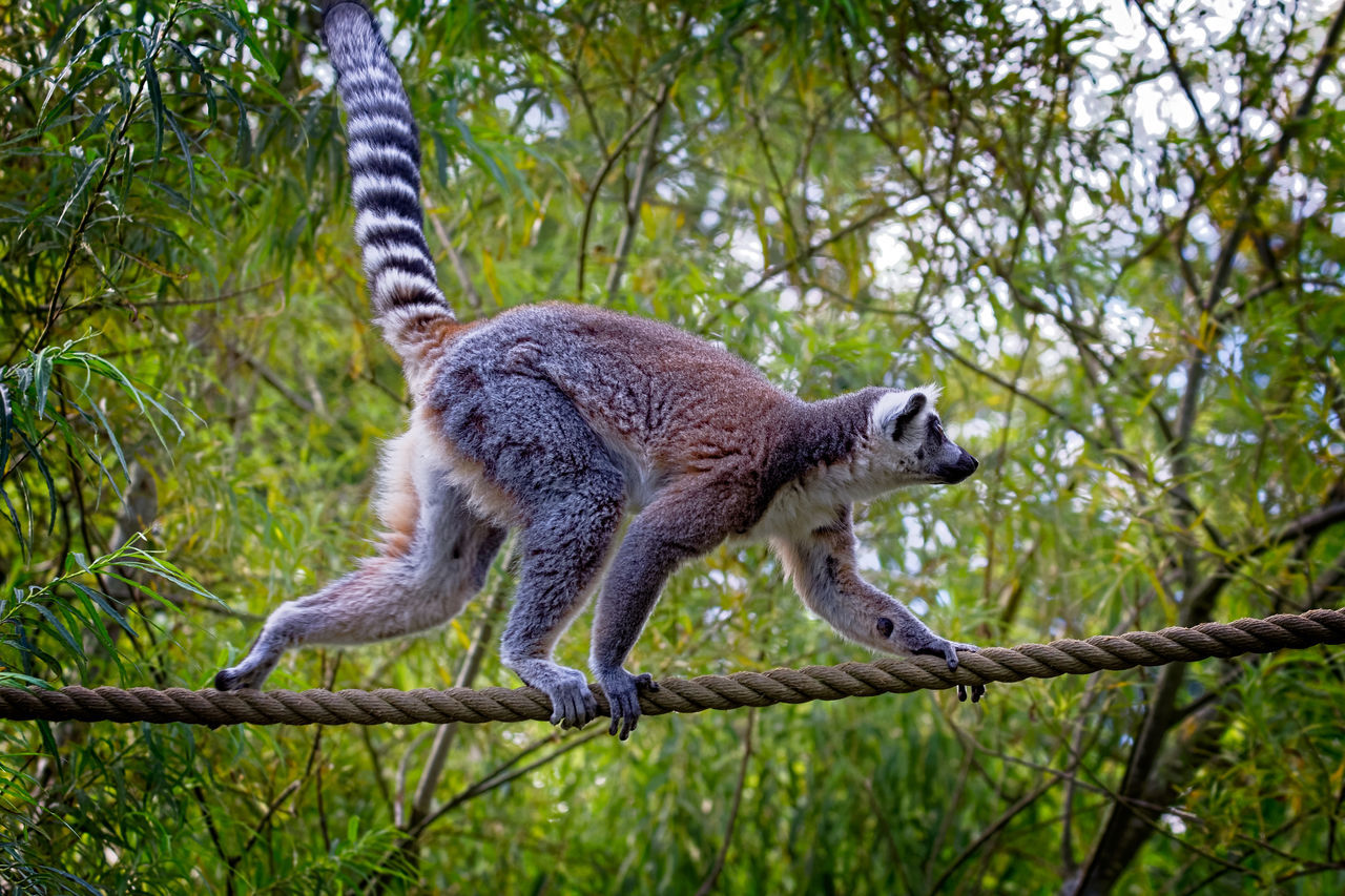 mammal, one animal, tree, animal wildlife, animals in the wild, plant, no people, nature, vertebrate, focus on foreground, low angle view, branch, day, full length, outdoors, side view, rope