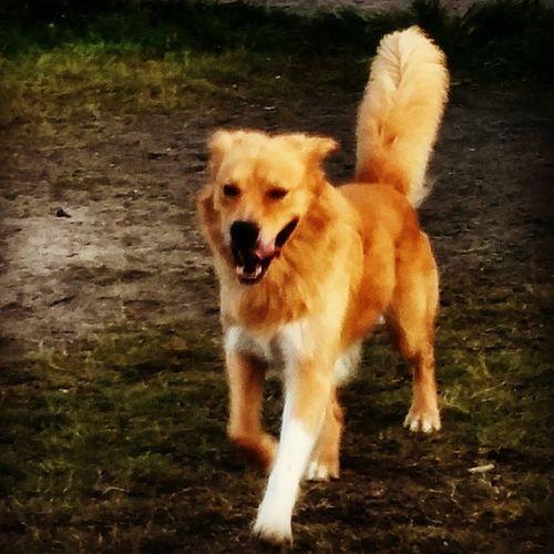 My Buddha chasing mom Happydogs Dogsarefamily Thewooflife Dog golden husky