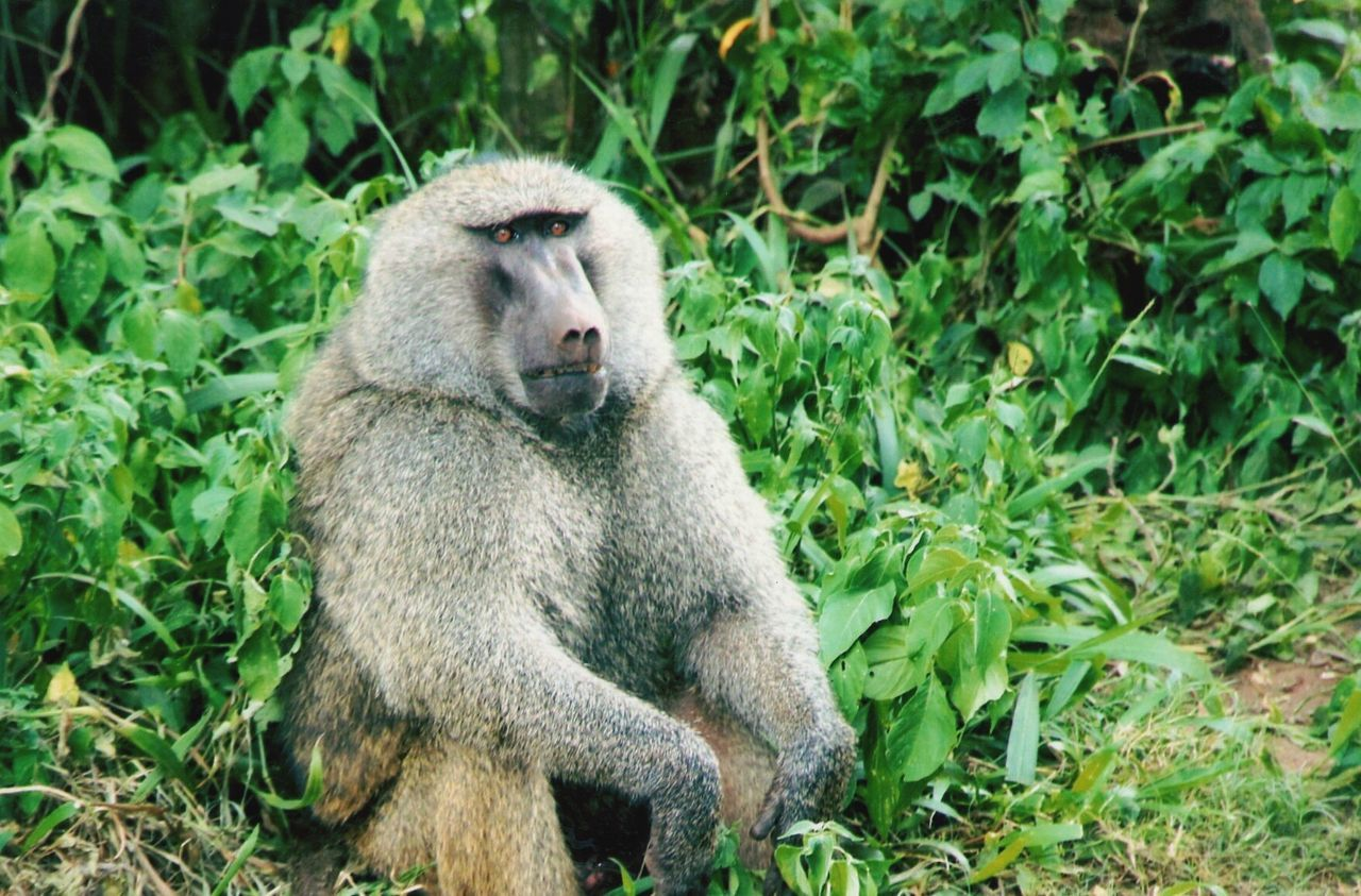 animals in the wild, one animal, plant, animal themes, animal wildlife, mammal, outdoors, nature, grass, monkey, day, green color, no people, baboon, growth, close-up