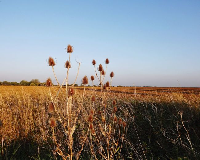 Teasels in the countryside Teasel Nature Countryside Flower Agriculture Clear Sky Rural Scene Field Cereal Plant Crop  Sky Farmland
