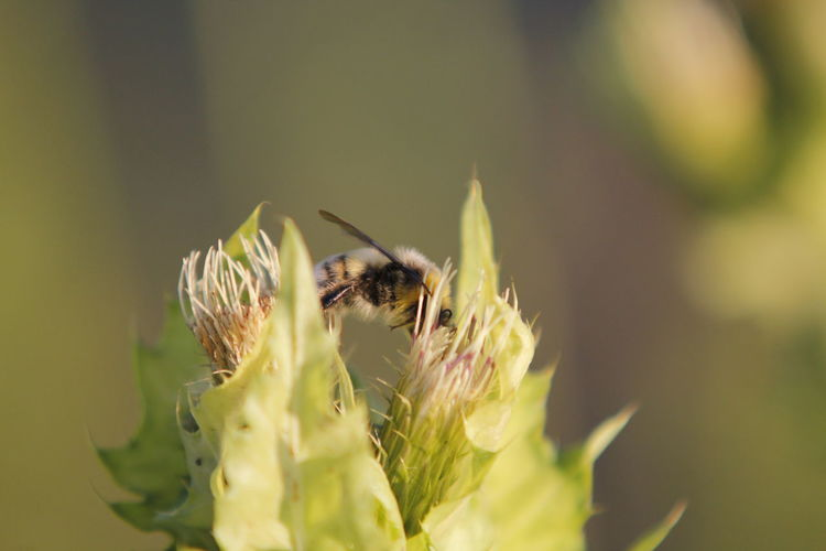 Bee pollinating on buds