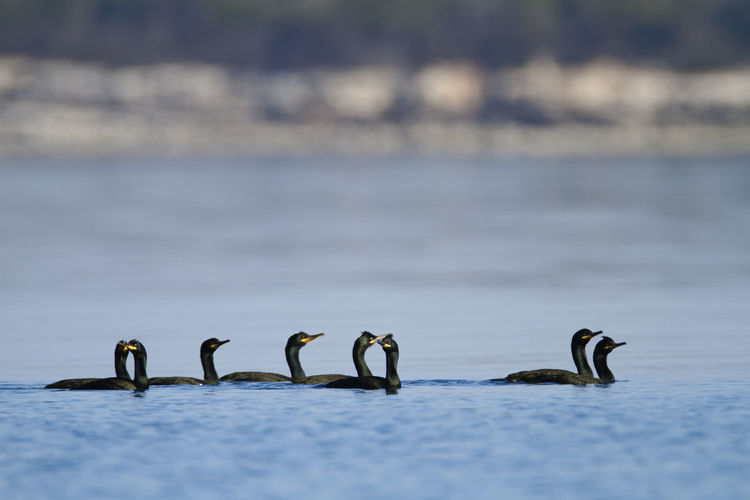 Group of shag swimming in the sea, brijuni national park
