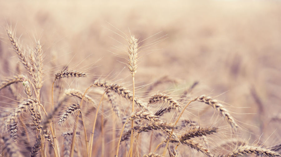 Field with yellow ripe ears of wheat on a summer day, selective focus, close up