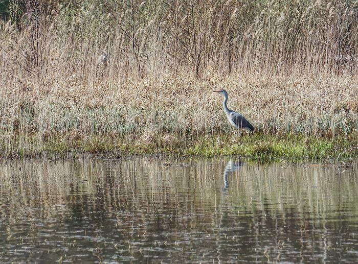 Grey Heron  2019 Niklas Storm April Heron Bird Perching Water Lake Reflection Waterfront Water Bird My Best Photo