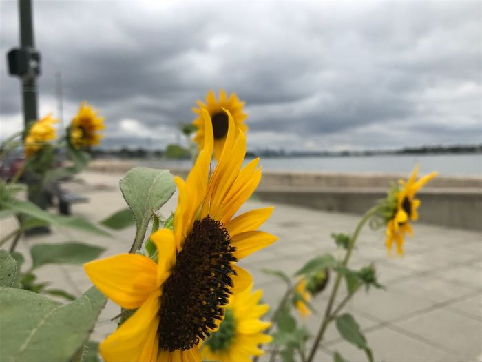 EyeEm Selects Sunflowers🌻 Sea Windy Blurred