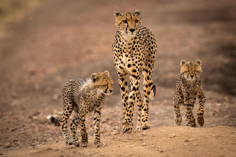 Cheetah standing with cubs on field