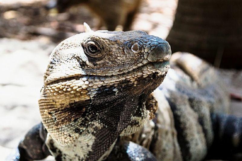 Nature On Your Doorstep Iguana Fauna Skin Beauty Skin Enjoying Life Cheese! Summer Beach Riviera Maya