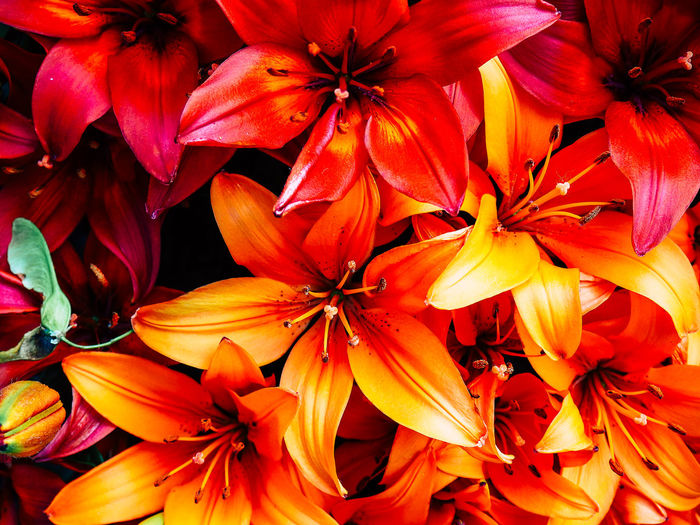 Full frame shot of orange lilies blooming in park
