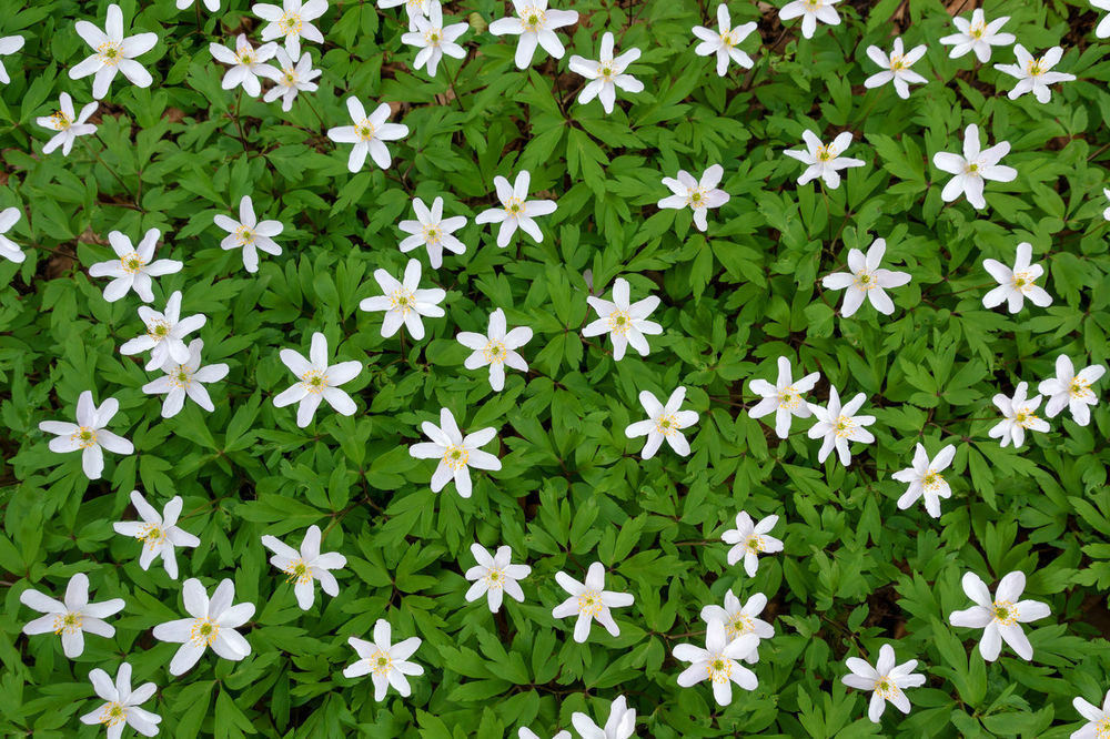 Flowering white wood anemones with dense green from above Anemone Nemorosa Beautiful Flowering Plant From Above  Green Thimbleweed Wildflower Wood Anemone Anemone Bloom Blooming Blossom Blossoming  Dense Flower Forest Group Many Ranunculaceae Season  Smell Fox Spring White Wild Windflower