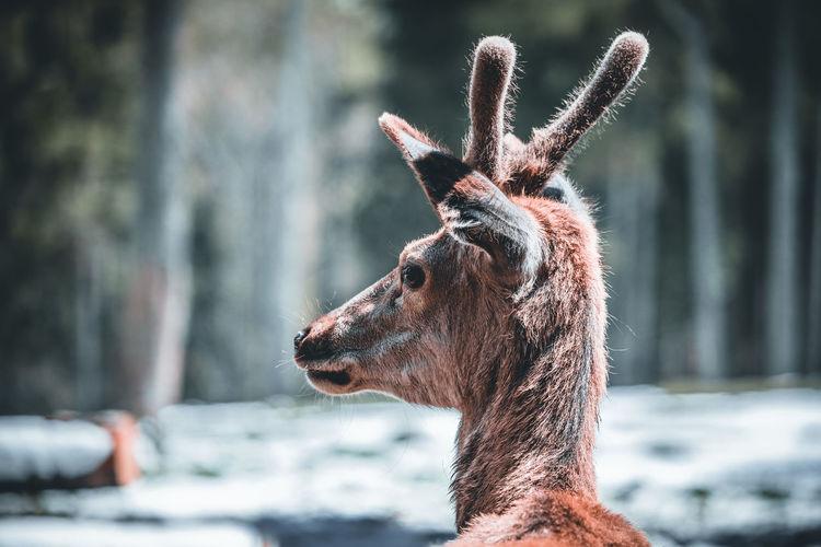 Close-up of giraffe