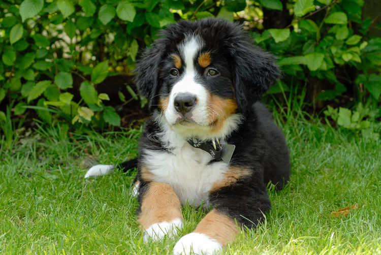 Berner Sennenhund Animal Themes Bernese Mountain Dog Day Dog Domestic Animals Grass Growth Hundewelpe Mammal Nature No People One Animal Outdoors Pets Portrait Puppy Welpe