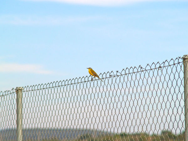 Animal Animal Themes Animal Wildlife Animals In The Wild Animals In The Wild Bird Birds Birds_collection Day Environment Fence Fences Metallic Fence Motacilla Motacilla Flava Nature Nature No People One Animal Outdoors Perching Perching Bird Sky Wildlife Yellow Wagtail