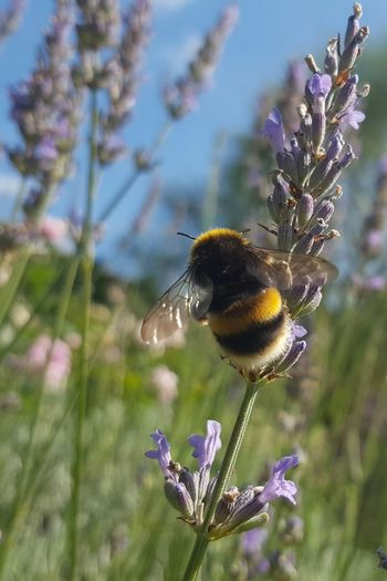 Godington House Ashford Kent Gardens Nature Lavender Plants Bumble Bee Colours Samsung S6 No Filter Moment Captures Wings Yellow And Black