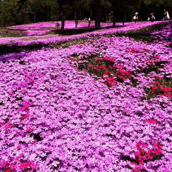 Nature Flower Beauty In Nature Purple Pink Color Tranquility Tree Tranquil Scene No People Growth Outdoors Scenics Day Landscape Flowerbed Fragility Freshness Takinoue Hokkaido Japan