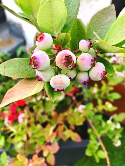 Vorfreude! Gardening In The City Urbangardening Urbanphotography Blueberry Growth Plant Freshness Plant Part Leaf Fruit Healthy Eating Beauty In Nature Food And Drink Berry Fruit Nature Food No People Outdoors