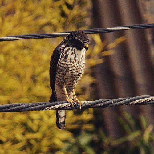 Dizendo-se apaixonado por pássaros, prendeu o pobre animal na gaiola. Retirou-lhe assim boa parte da sua beleza, pois já não tinha a liberdade. Nature Birds Urbannature Hawks wildandfree freedom