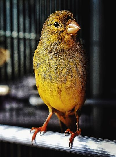 Waiting for a chance... Animal Themes One Animal Bird Yellow No People Close-up Feather  Indoors  Day Greenery Flyaway Littlebird Canary Areyouready Birds Of EyeEm  Photobirds Canary Yellow Canario