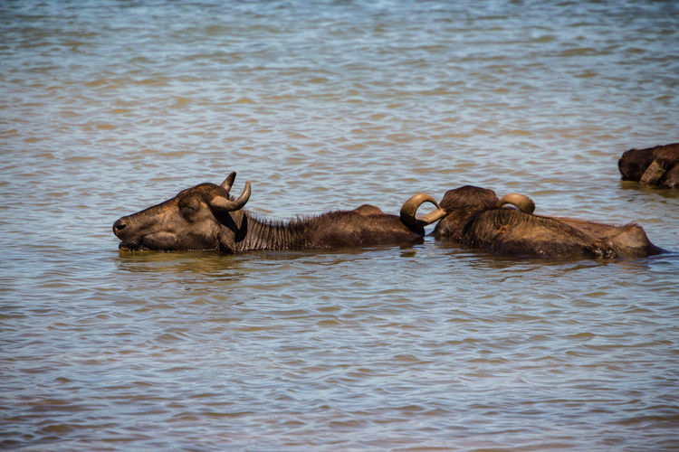 Bathing Lakeview Sunlight Travel Photography Water Reflections Animal Animal Family Animal In Water Animal Wildlife Animals In The Wild Beauty In Nature Close-up Day Gnu Group Of Animals Lake Lake View Nature No People Outdoors Safari Travel Destinations Two Animals Water Waterfront