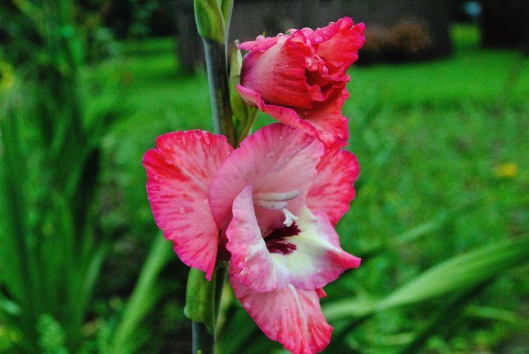 HDR Nikon Dslr Flowers Pinkaliscious