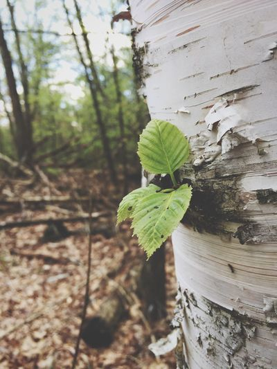Growth Nature Leaf No People Plant Outdoors Close-up Day Green Color Beauty In Nature Tree Freshness White Birch Tree Trunk