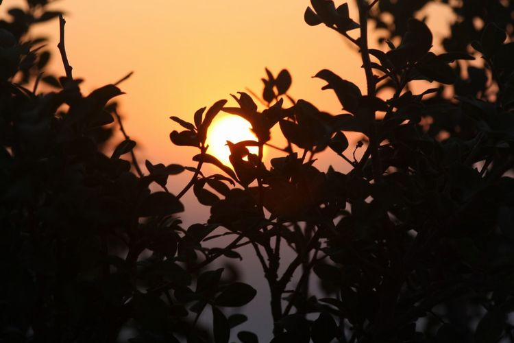 Close-up of silhouette leaves against sunset