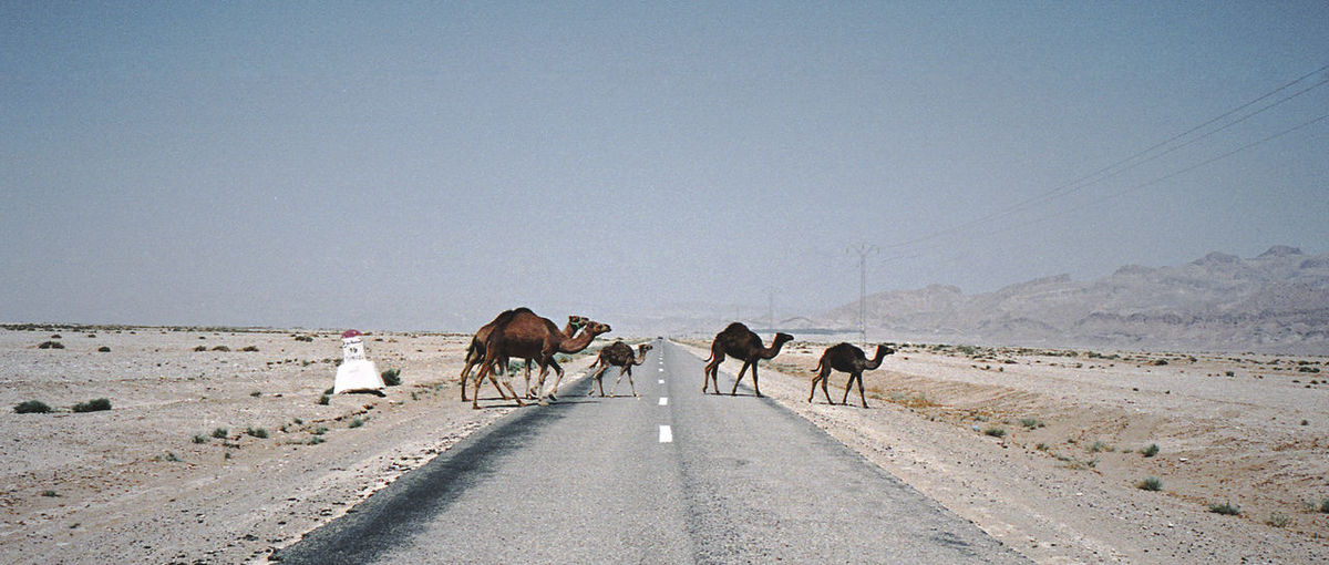 Horses walking on road against clear sky