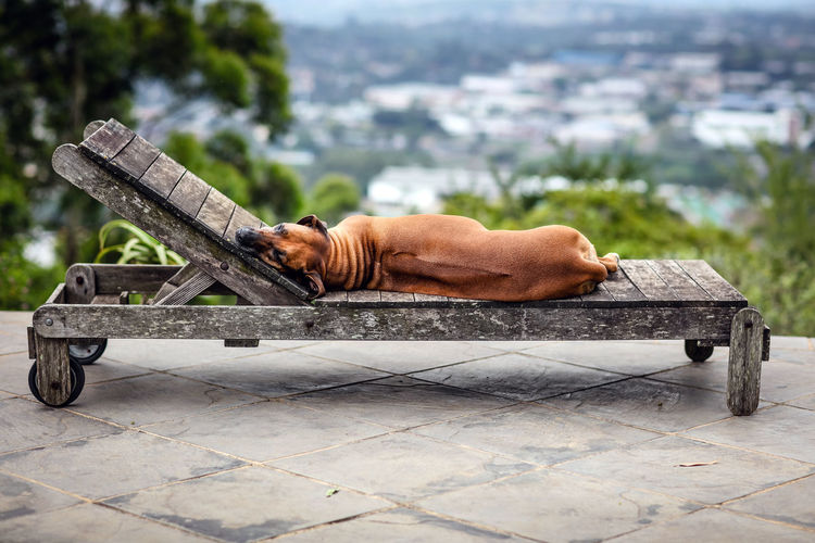 Dog Sleeping On Wooden Lounge Chair