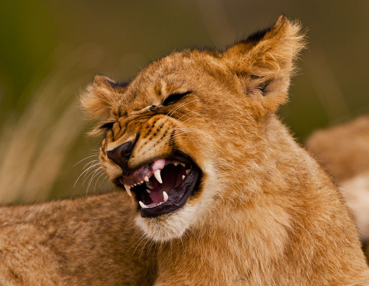 Animal Themes Animal Wildlife Animals In The Wild Carnivora Close-up Day EyeEmNewHere Growling Lion - Feline Lion Cub Low Angle View Mammal Mouth Open Nature No People One Animal Outdoors Safari Adventure Safari Animals Snarling Cu
