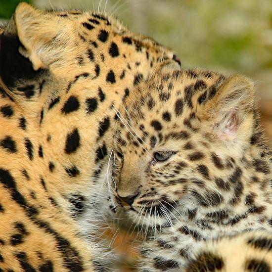 Amur Leopard Animal Markings Animal Themes Baby Cub Close-up Cub & Mum Leopard Wildlife