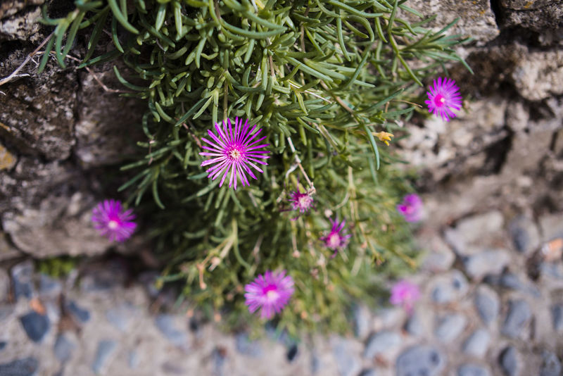 Green Pink Plant Beauty Blooming Cobbled Flower Flower Head Fragility Leaves Outdoors Street Summer