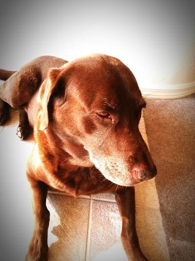 Dog , Chocolate Lab, Lab First Eyeem Photo