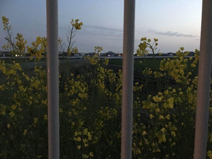 田舎の風景 Growth Nature Plant Beauty In Nature Tree Agriculture Tranquility Sky No People Scenics Water Outdoors Day Flower Freshness Iphone7 EyeEm Gallery EyeEm Best Shots Fukuoka Love Japan Happy Plum Blossom 3月 春