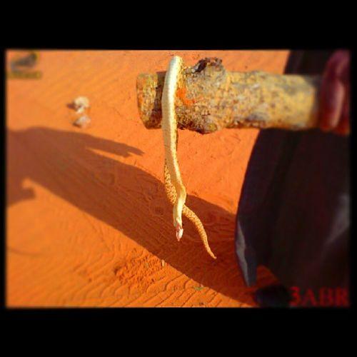 كوبرا عربية ثعبان Cobra Snake شمال روضة خريم من الارشيف السعودية مكشات nature tree تصويري ب k800i SonyEricsson