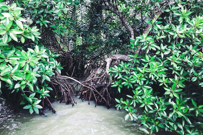 Mangroves Summer Sea Nature Travel Freshness Green Tree Plant Growth Tree Nature Green Color Plant Part Leaf No People Day Beauty In Nature Water Land Tranquility Lush Foliage Outdoors Architecture Forest Branch