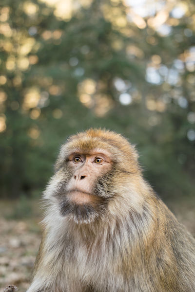 A portrait of a barbary macaque monkey in the forest of Ifrane, Morocco, Africa Animal Animal Wildlife Animals In The Wild Ape Barbary Barbary Macaques Endemic Ifrane Macaca Macaque Magot Mammal Monkey Morocco Nature No People One Animal Outdoors Portrait Wilderness