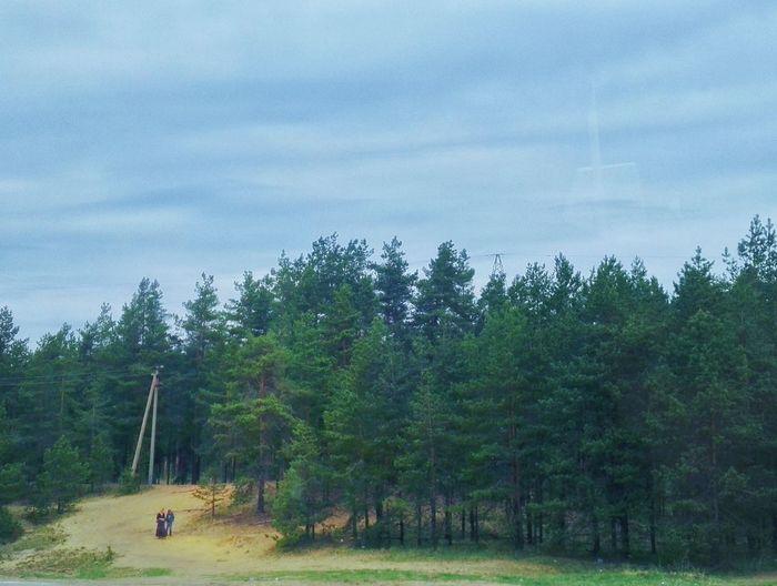 На пути к Пскову. Tree Forest