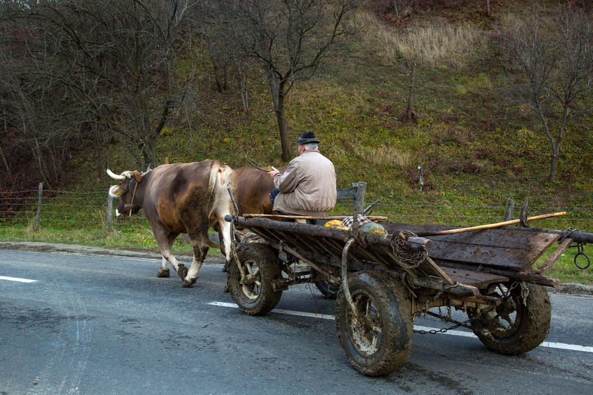 Agriculture Maramures Road Romania Agriculture Photography Animals Domestic Men Oxen Oxen On The Road